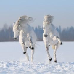 Fodring og pleje af heste i ekstremt vejr